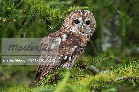Tawny owl (Strix aluco), captive, Cumbria, England, United Kingdom, Europe