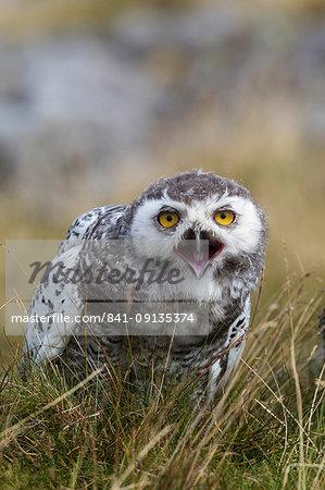 Snowy owl (Bubo scandiacus) juvenile, captive, Cumbria, England, United Kingdom, Europe
