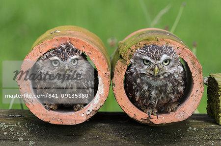 Little owls (Athene noctua), captive, Cumbria, England, United Kingdom, Europe