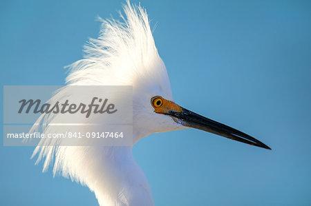 Portrait of Snowy Egret (Egretta thula) against blue sky, United States of America, North America