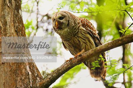 Barred Owl (Strix varia) sitting on a tree, United States of America, North America