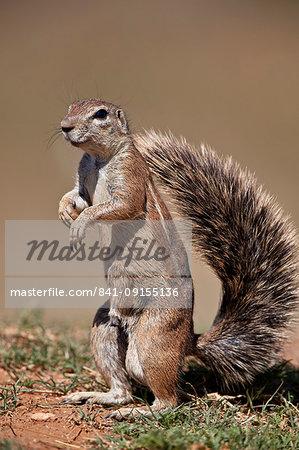 Cape Ground Squirrel (Xerus inauris), male, Mountain Zebra National Park, South Africa, Africa