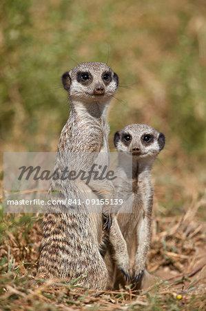 Two Meerkat (Suricate) (Suricata suricatta), Mountain Zebra National Park, South Africa, Africa