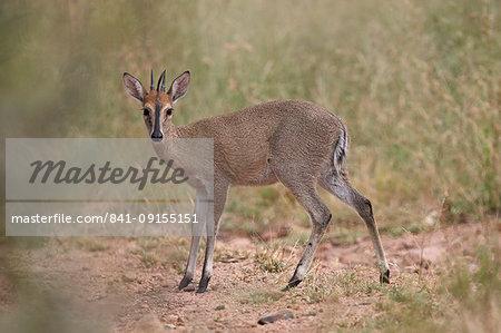 Common Duiker, Kruger National Park, South Africa, Africa