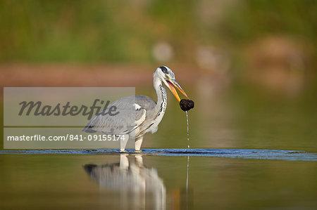 Gray Heron (Grey Heron) (Ardea cinerea) with potential food, Kruger National Park, South Africa, Africa