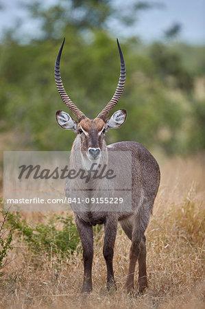 Common Waterbuck (Ellipsen Waterbuck) (Kobus ellipsiprymnus ellipsiprymnus) buck, Kruger National Park, South Africa, Africa