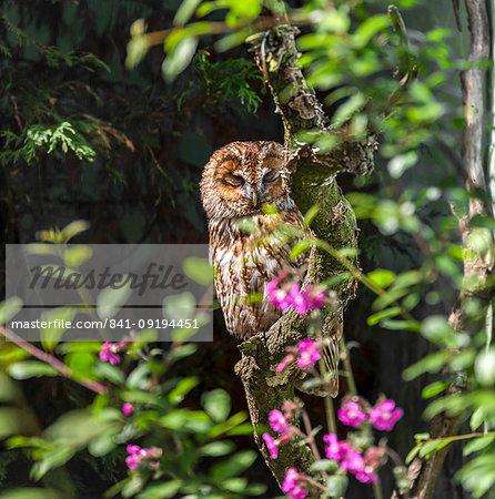 Tawny Owl in a rehabilitation centre, England, United Kingdom, Europe