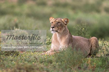 Lioness (Panthera leo) watching prey, Kgalagadi Transfrontier Park, South Africa, Africa