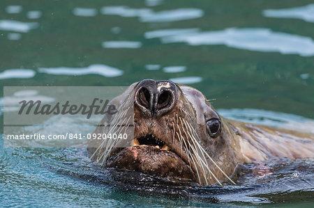 Curious adult bull Steller sea lion (Eumetopias jubatus), Inian Islands, Southeast Alaska, United States of America, North America