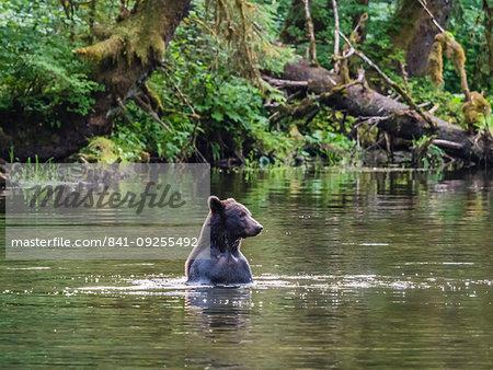 Adult brown bear, Ursus arctos, looking for salmon at Lake Eva, Baranof Island, Southeast Alaska, United States of America
