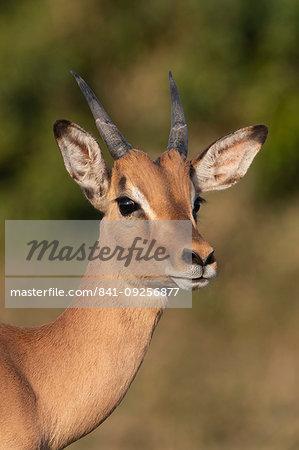 Impala, Aepyceros melampus, sub-adult male, iMfolozi game reserve, KwaZulu-Natal, South Africa