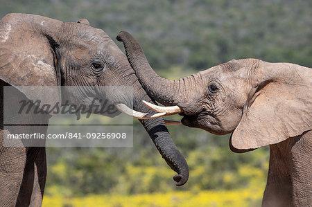 African elephants, Loxodonta africana,  Addo elephant national park, Eastern Cape, South Africa