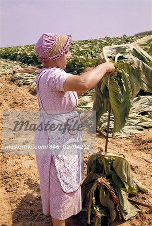 1950s FARM WOMAN WEARING PINK SUN BONNET HARVESTING PICKING TOBACCO LANCASTER COUNTY PENNSYLVANIA