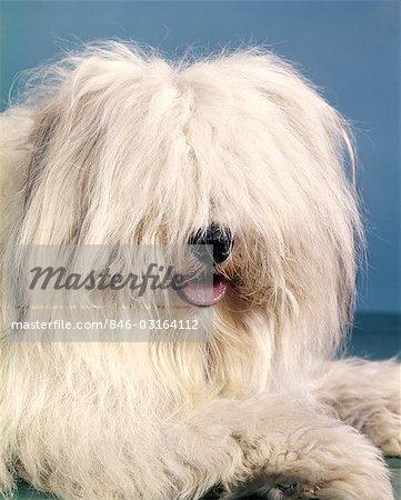 English Sheepdog With Long Gy Hair