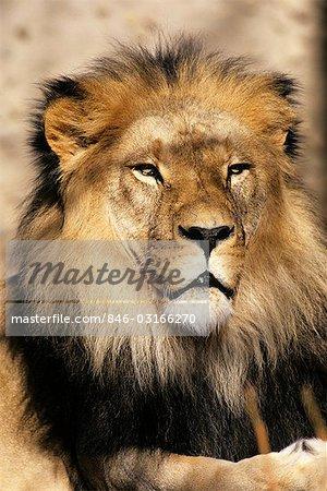HEAD SHOT OF LION Panthera leo AFRICA