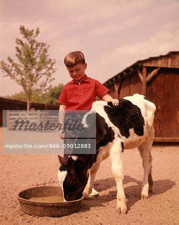 1960s FARM BOY IN RED SHIRT FEEDING BLACK AND WHITE HOLSTEIN CALF