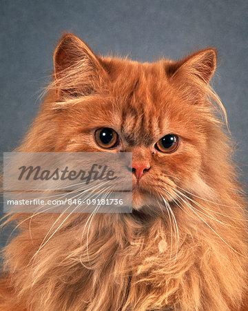 RED PERSIAN LONG HAIR CAT STERN FACIAL EXPRESSION LOOKING AT CAMERA