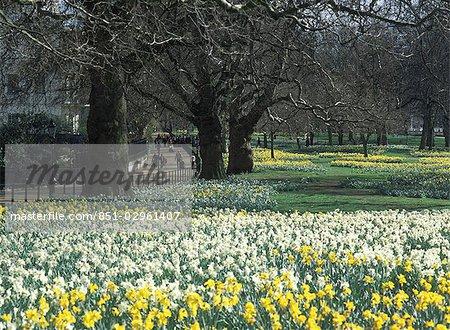 Daffodils in Green Park in spring,London,UK