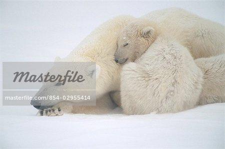 Mother Polar Bear & Cub Huddle in Snow Storm Churchill Canada Winter