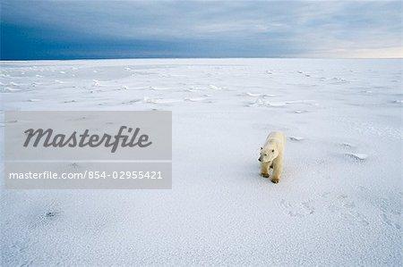 Polar Bear Crossing Sea Ice Pt Gordon Hudson Bay Canada/nWinter