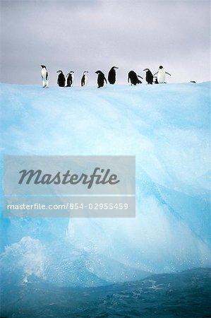 Group of Adelie Penguins on Iceberg Antarctica