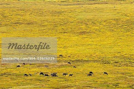 Caribou migrate through Gates of the Arctic National Park & Preserve near the Alatna River headwaters, Arctic Alaska, Fall