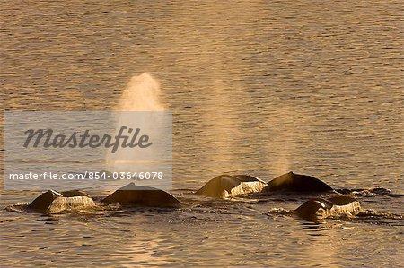 A pod of Humpack whales feeding near Benjamin Island in Lynn Canal, Southeast Alaska, Winter, COMPOSITE