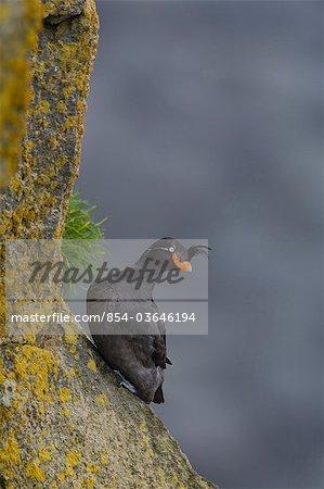 Crested Auklet perched on a ledge, Saint Paul Island, Pribilof Islands, Bering Sea, Southwest Alaska