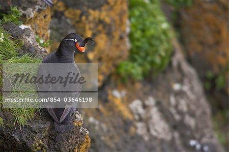 Crested Auklet perched on a rock surrounded by green vegetation, Saint Paul Island, Pribilof Islands, Bering Sea, Southwest Alaska