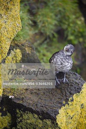 Least Auklet perched on a lichen covered rock, Saint Paul Island, Pribilof Islands, Bering Sea, Southwest Alaska, Summer