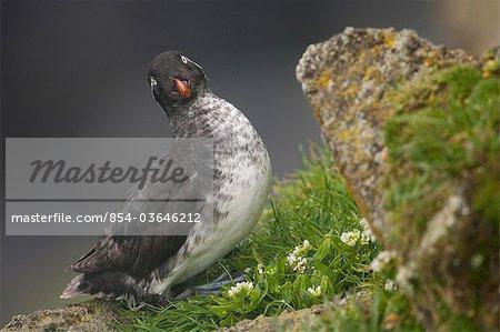 Parakeet Auklet sitting in green vegetation on ledge during Summer, Saint Paul Island, Pribilof Islands, Bering Sea, Alaska