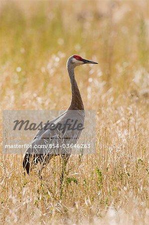 Lesser Sandhill Crane in grass at Creamer's Field Migratory Waterfowl Refuge, Fairbanks, Interior Alaska, Summer