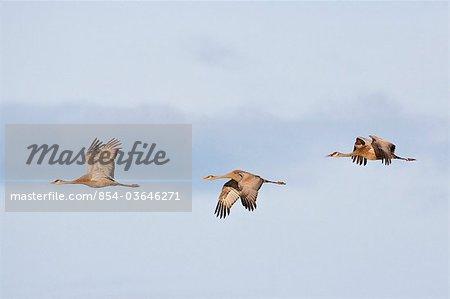 View of three Sandhill Cranes in flight over Creamer's Field, Fairbanks, Interior Alaska