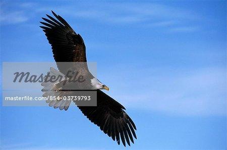 Bald Eagle soars against a blue sky, Southcentral Alaska, Summer