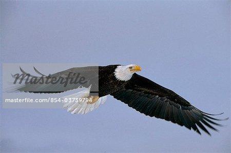 Bald Eagle in flight over  Mikfik Creek, McNeil River State Game Sanctuary, Southwest Alaska, Summer