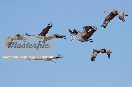 Group of Sandhill cranes fly over the Matanuska- Susitna Valley near Palmer, Southcentral Alaska, Spring