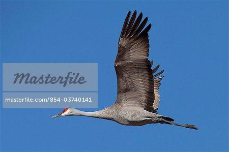 Sandhill crane in flight over the Matanuska-Susitna Valley near Palmer, Southcentral Alaska, Spring