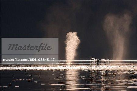 Humpback whales feeding along the shoreline of Admiralty Island, Stephens Passage, Inside Passage, Southeast Alaska, Autumn