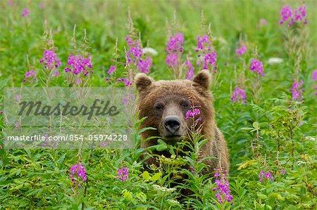 A brown bear stands amongst blooming Fireweed, Tongass National Forest, Southeast Alaska, Summer