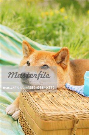 Shiba Inu Dog In Park