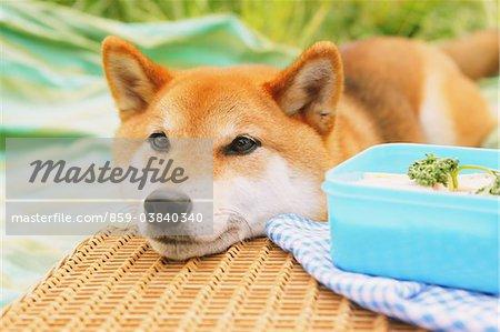 Shiba Inu Dog In Park Lying Down