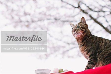 Cat enjoying Hanami
