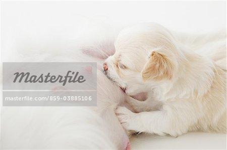 Chihuahua Puppy Sulking