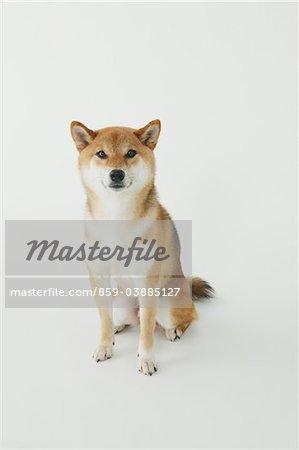 Shiba Inu Dog Sitting On White Background