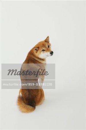 Shiba Inu Dog Sitting And Looking Back