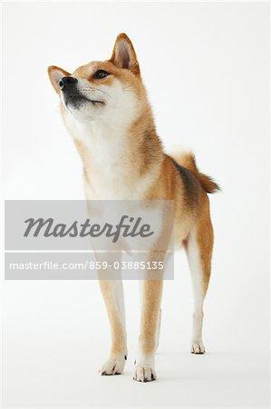 Shiba Ken Dog