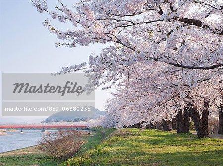 Kakunodate Sakura, Akita Prefecture, Japan