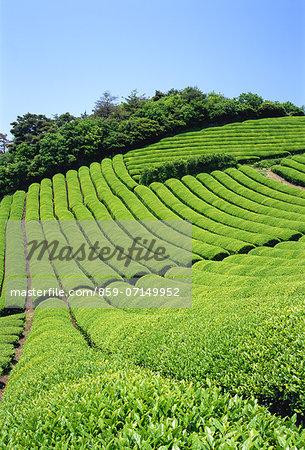 Tea Field, Kyoto, Japan