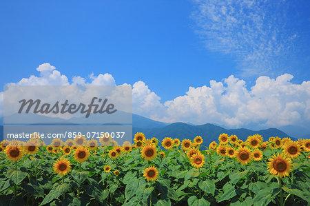 Sunflower Field, Azumino, Nagano