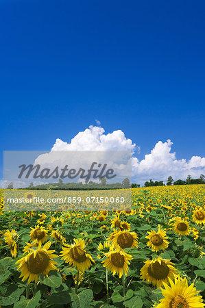 Sunflower Park, Hokuryu, Hokkaido, Japan